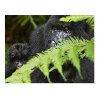 Carte Postale Gorilles de montagne femelles et juvéniles
