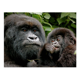 Carte Postale Gorilles ougandais