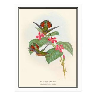 Carte Postale Gould-Richter, colibri vintage d'ermite