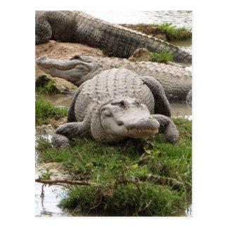 Carte Postale Grand alligator