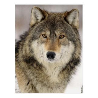 Carte Postale Grand beau loup gris dans le sauvage