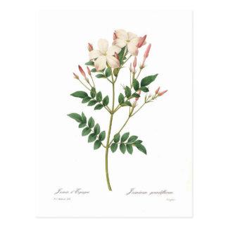 Carte Postale Grandiflorum de Jasminum