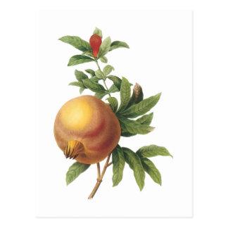 Carte Postale grenade (punica de grenadier) par Redouté