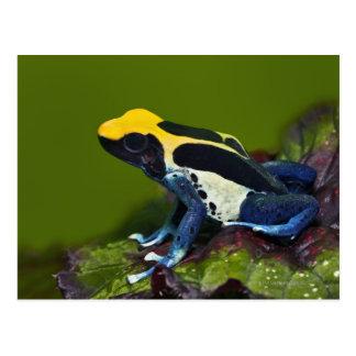 Carte Postale Grenouille brésilienne de dard de cobalt,