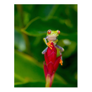 Carte Postale grenouille d'arbre de Rouge-oeil, Costa Rica