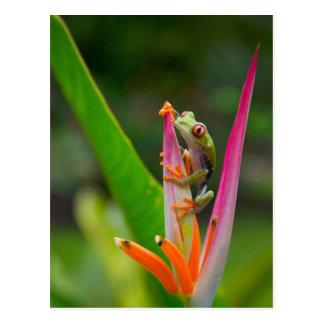 Carte Postale grenouille d'arbre de Rouge-oeil, Costa Rica 2