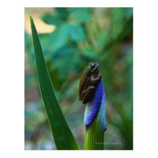 Carte Postale Grenouille d'arbre verte sur l'iris