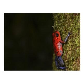 Carte Postale Grenouille de Poison-dard de fraise (Dendrobates