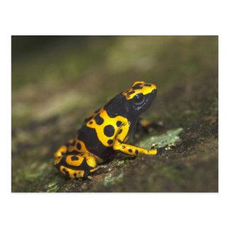 Carte Postale grenouille Jaune-réunie Dendrobates de dard de