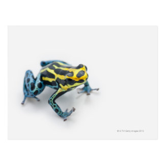 Carte Postale Grenouille noire, jaune et bleue de dard de poison
