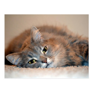 Carte Postale Gris, Tan, chat aux cheveux longs blanc par