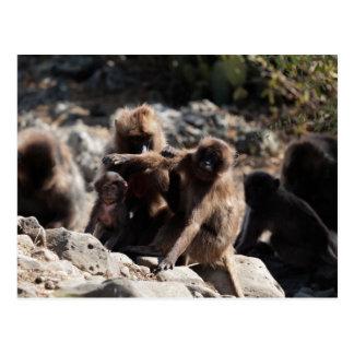 Carte Postale Groupe de babouins de gelada (gelada de