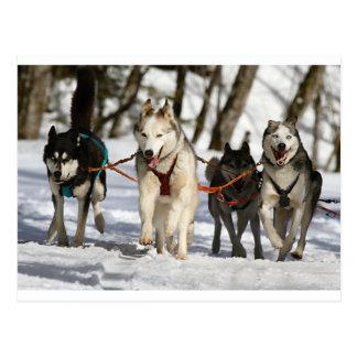 Carte Postale groupe de travail de chien de traîneau sibérien