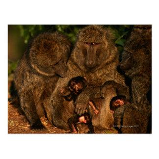 Carte Postale Groupe d'observation olive de babouins (anubis de