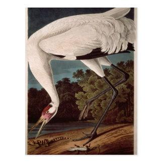 Carte Postale Grue de huée, des 'oiseaux d'America