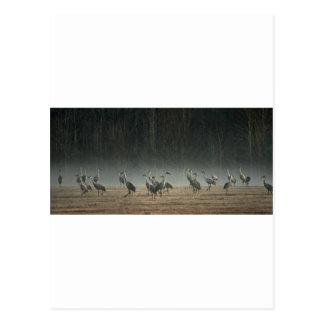 Carte Postale Grues de Sandhill dans la brume de ressort de