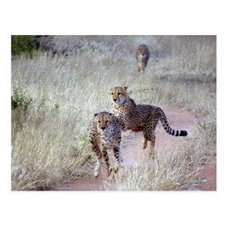 Carte Postale Guépards en Namibie