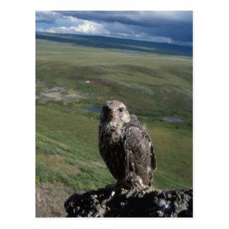 Carte Postale gyrfalcon, rusticolus de Falco, obtention juvénile