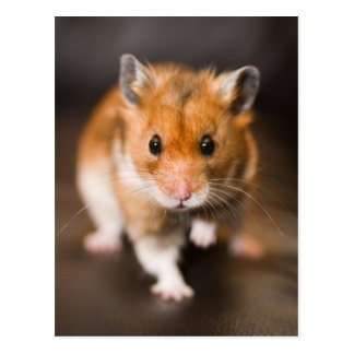 Carte Postale Hamster