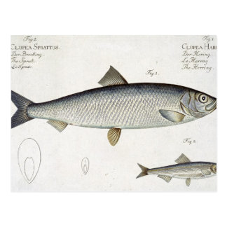 Carte Postale Harengs (Clupea Harengus) (fig. 1) et esprot (Clup