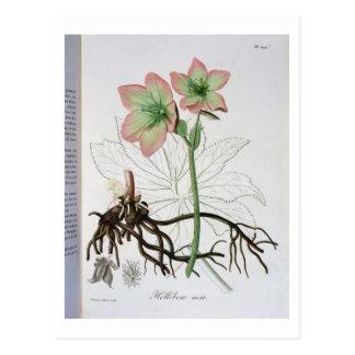 "Carte Postale Helleborus Niger de ""Phytographie Medicale"" par J"