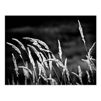Carte Postale Herbe sauvage en noir et blanc