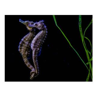 Carte Postale Hippocampes (hippocampes)