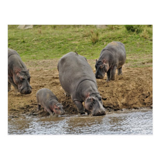 Carte Postale Hippopotame, amphibius d'hippopotame, Serengeti
