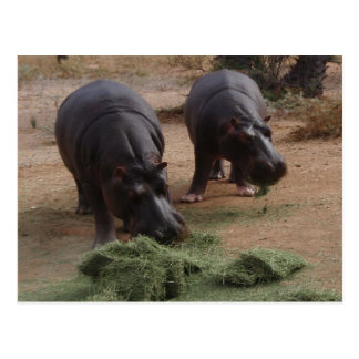 Carte Postale hippopotames