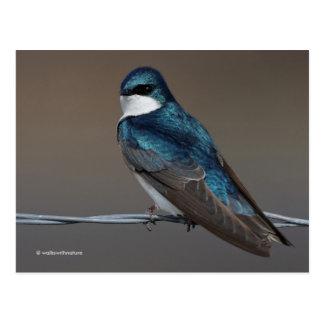 Carte Postale Hirondelle d'arbre belle : Oiseau sur un fil