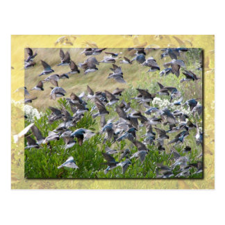 Carte Postale Hirondelles d'arbre, île d'Assateague
