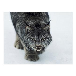 Carte Postale Hiver de Lynx