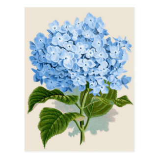 Carte Postale Hortensia bleu vintage