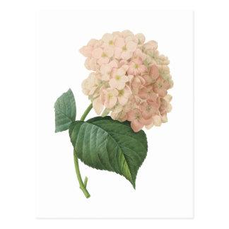 Carte Postale hortensia (espèces d'hortensia) par Redouté