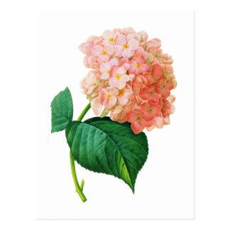 Carte Postale Hortensia rose par Pierre Joseph Redoute