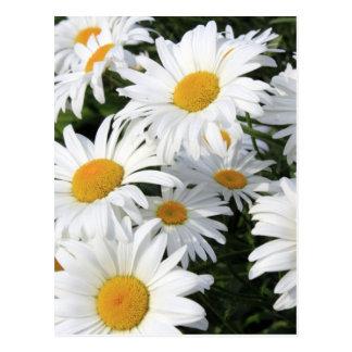 Carte Postale Horticulture de marguerite blanche
