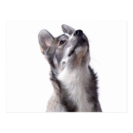 Carte Postale Husky puppy