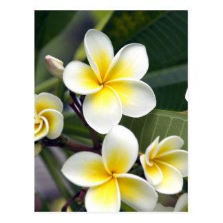 Carte Postale Îles Cook de fleur de Frangipani