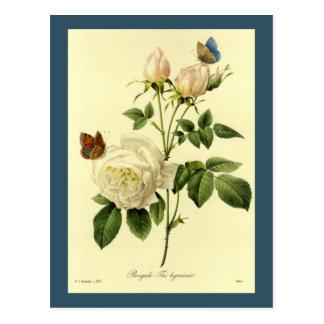 Carte Postale Illustration Bengale Hymanee rose de Redoute