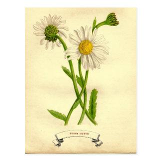 Carte Postale Illustration botanique de marguerite vintage