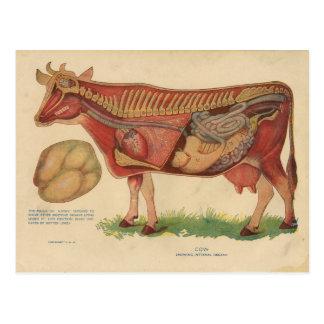 Carte Postale Illustration d'anatomie de vache au cru 1912