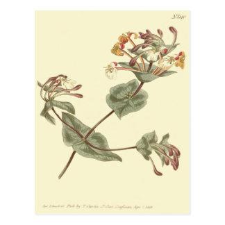 Carte Postale Illustration de jaune de chèvrefeuille de Minorca