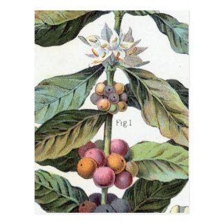 Carte Postale Illustration vintage de grain de café