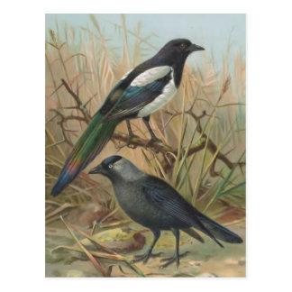 Carte Postale Illustration vintage d'oiseau de pie et de choucas