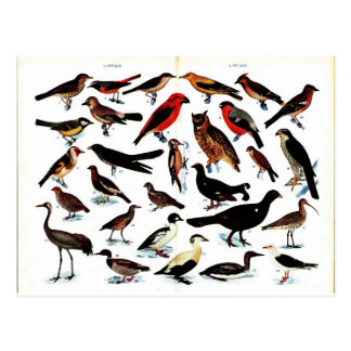 Carte Postale Illustration vintage d'oiseaux