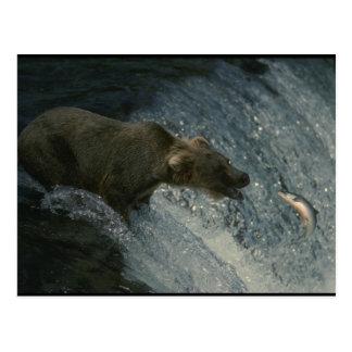 Carte Postale Image-Pêche d'ours gris pour le saumon