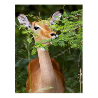 Carte Postale Impala (Aepyceros Malampus)