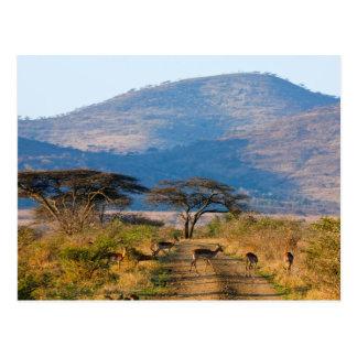 Carte Postale Impala (Aepyceros Melampus), Hluhluwe-Umfolozi