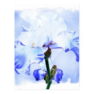 Carte Postale Iris barbu - bleu et blanc