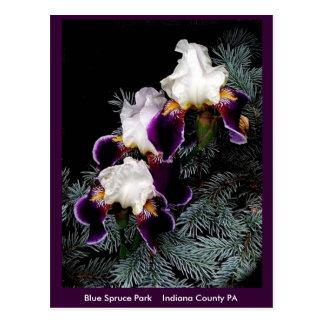 Carte Postale Iris blanc et pourpre